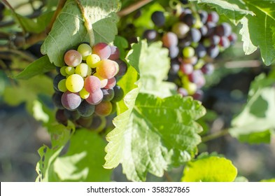 Wine grapes selective  focus