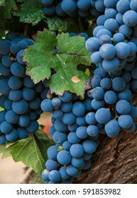 Wine grapes at a vineyard in Mendoza, a famous wine region of Argentina.