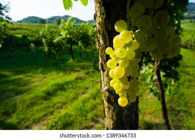 wine grapes at vineyard sunrise