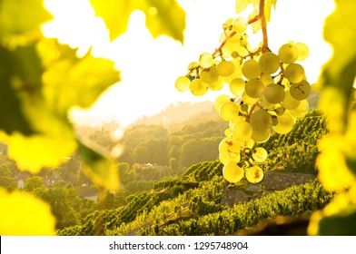 Wine grapes in a vineyard at sunset