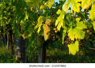 wine grapes at wineyard, september