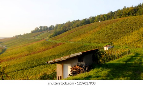 Wine growing in autumn