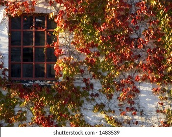 Wine plant with red autumn leaves climbing brick wall. Jutland Denmark. Red iron window, beautiful colors.