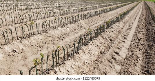 Wine plants in Italian nursery