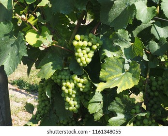 wine plants at the river rhine