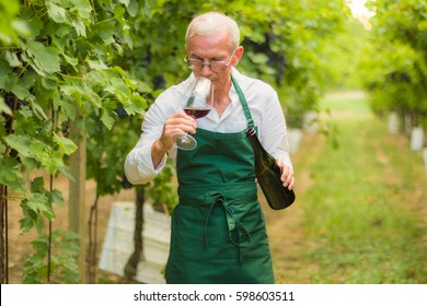 Wine tasting at the winery. Senior sommelier holding in hands a glass of red wine and tasting while standing at family winery. Small business.