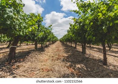Wine vineyard in Stellenbosch on a beautiful day in Cape Town