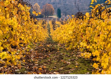 Wine Vineyards after the Harvest in Autumn Yellow Golden Color