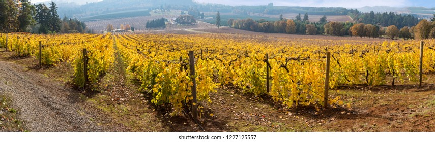 Wine Vineyards after the Harvest in Autumn Yellow Golden Color Panoramic