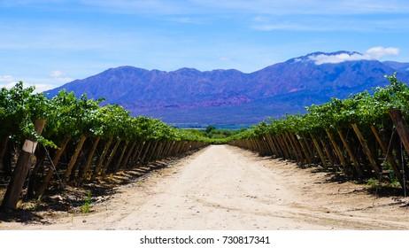Wine Vineyards in Cafayate