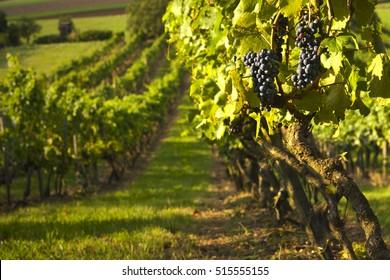 Wine yards
