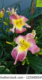 wine and yellow exotic daylilies with green lantern