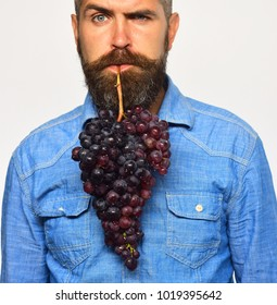 Winegrower with confused face holds cluster of grapes in mouth. Man with beard holds bunch of black grapes isolated on white background. Farmer shows his harvest. Winemaking and autumn concept