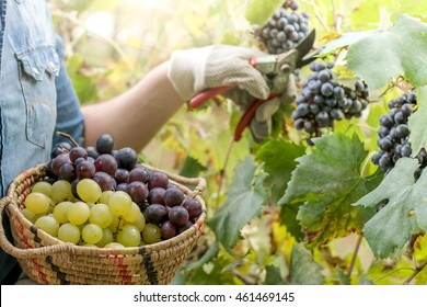 winegrower picking grapes or doing the harvesting in vineyard close up - main focus on grape basket