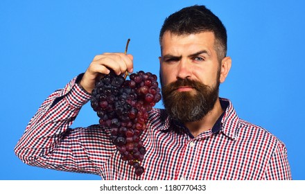 Winegrower with seductive face holds cluster of grapes near face. Man with beard holds bunch of purple grapes isolated on blue background. Viticulture and gardening concept. Farmer shows his harvest