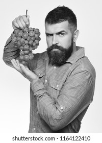 Winegrower with serious face holds cluster of grapes. Viticulture and gardening concept. Man with beard holds bunch of green grapes isolated on white background. Farmer shows his harvest