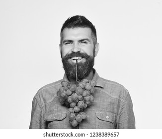 Winegrower with smiling face holds cluster of grapes in teeth. Farmer shows his harvest. Viticulture and gardening concept. Man with beard holds bunch of green grapes isolated on white background.