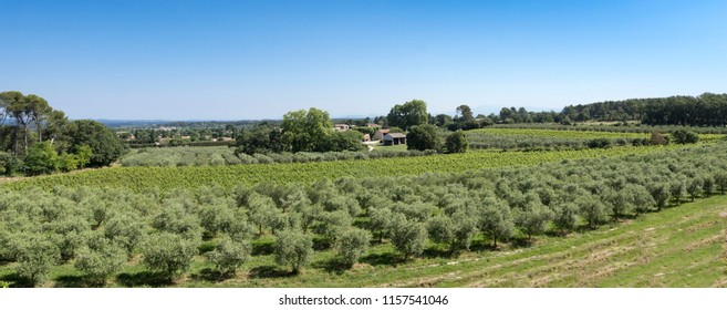 Winegrowingat and olive grove in the Alpilles Region at St Rémy de Provence. Buches du Rhone, Provence, France.