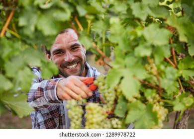 Winemaker harvesting green grapes in vineyard