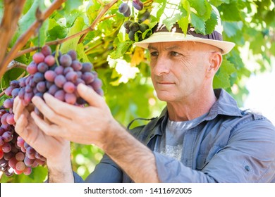 Winemaker man in straw hat examining grapes during vintage. Traditional winery culture and winemaker business. Adult vintner checking wine grapes quality in vineyard. Harvest time in winery industry