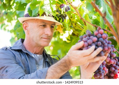 Winemaker man in straw hat examining grapes during vintage. Traditional winery culture and winemaker business. Adult vintner checking wine grapes in vineyard. Harvest time in winery industry
