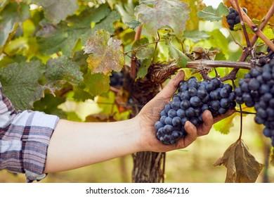 Winemaker picking grapes during harvest in vineyard
