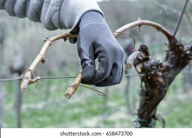 Winemaker prunes branches of a vine.