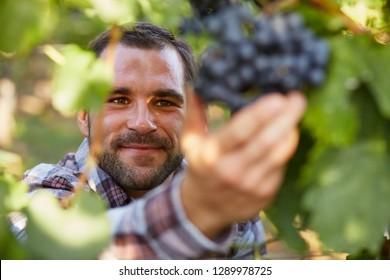 Winemaker in vineyard picking blue grapes