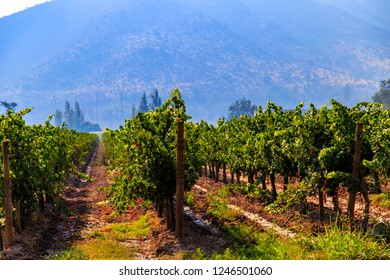 Winery, Maipo valley, the area around Santiago de Chile.