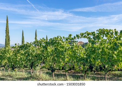 Winery in Tuscany, Italy, surrounded by vineyards and cypresses, during the grape harvest