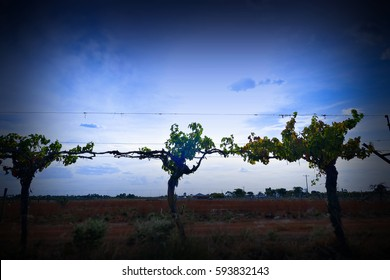 Winery vineyard and silhouette of vines on dusk featuring rows of vines, grapes or sultanas on wire. Filmed Mildura, Victoria.