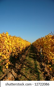 wineyard in autumn