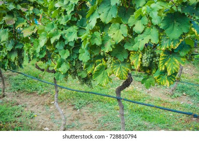 Wineyard in georgian wine region Kakheti in a period of grape harvest or Rtveli in georgian