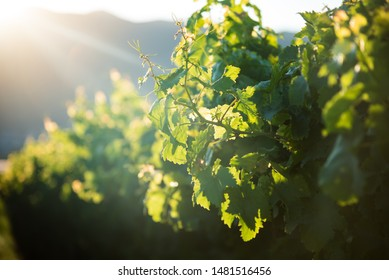 Wineyard leafs close up in soft focus and bright sunlight. Tuscany vineyards.