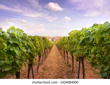 wineyard on the will obove the German city of Speyer