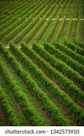 Wineyard  pattern in Tarija Bolivia