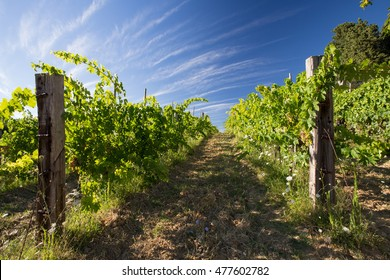 wineyard in the tuscany