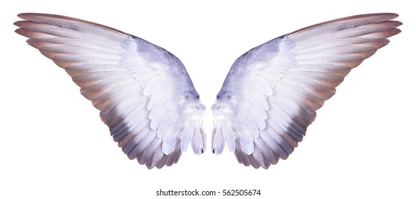 wings of bird  on white  bacground