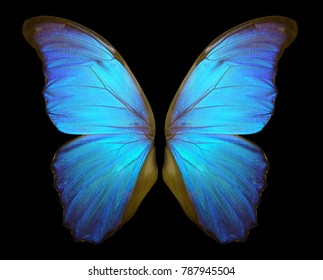 Wings of a butterfly Morpho. Morpho butterfly wings isolated on a black background.