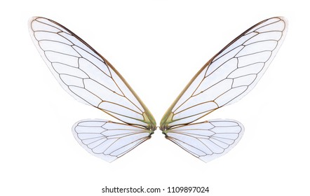 wings of cicada insect isolated on white background