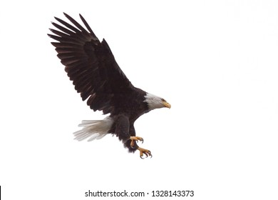 Wings and claws spread wide open, as a bald eagle floats from the sky. White background