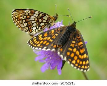 Wings of  Heath Fritillary          butterfly