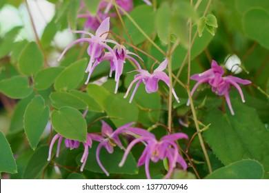 barrenwort、bishop's hat、fairy wings or horny goatweed  (Epimedium grandiflorum)