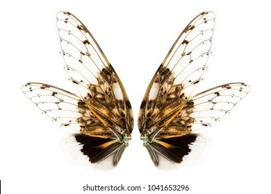 Wings of insect (cicada) isolated on white background with clipping path