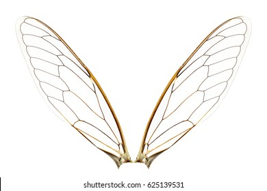 Wings of insect isolated on a white background