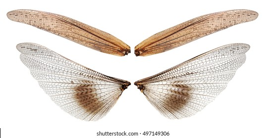 Wings of a migratory locust (Locusta migratoria) isolated on the white background