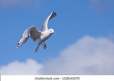 It's wings spread open like a parachute, a ring-billed gull floats down from the blue sky.