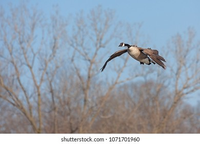 With its wings spread open and neck stretched outward, a canada goose glides across the sky. Barren spring trees and a blue sky make of a peacefully flying environment.