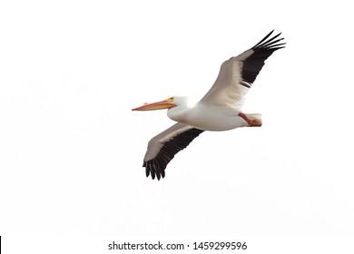 Wings spread wide open, an American white pelican drifts across a white background