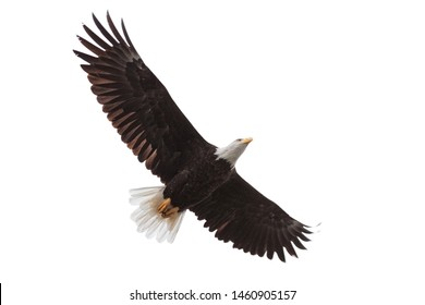 Wings spread wide open, a bald eagle drifts across a white background